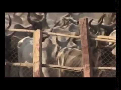 INTERESTING QUALITIES OF COW'S URINE – WHICH YOU DO NOT KNOW ( HINDI)