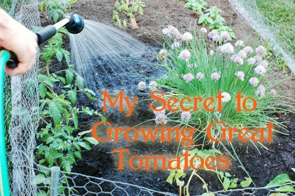 My tomato growing secret