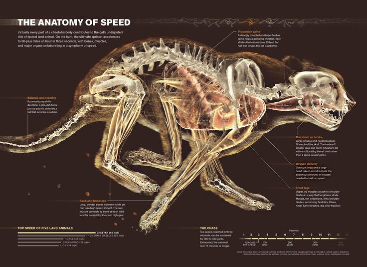 """Did you say you want to scan… a whole cheetah?"" Beautiful infographic from National Geographic"