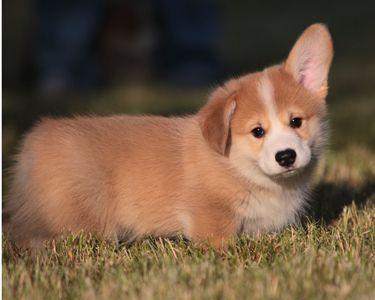 Puppy Oscar