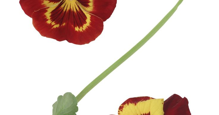 Cómo plantar pensamientos en macetas . Los pensamientos aman las temperaturas frescas de principios de la primavera y del otoño, pero las temperaturas estivales de 75 grados Fahrenheit (23 grados C) o más hacen que las plantas dejen de florecer. Las flores son comestibles y retienen su forma fresca cuando las cortas para crear ensaladas coloridas o para hacer arreglos florales. Puedes ...
