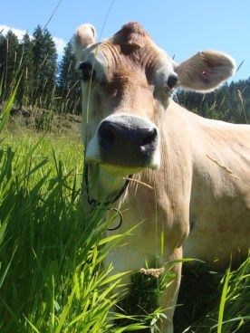 Cattle diseases to test for