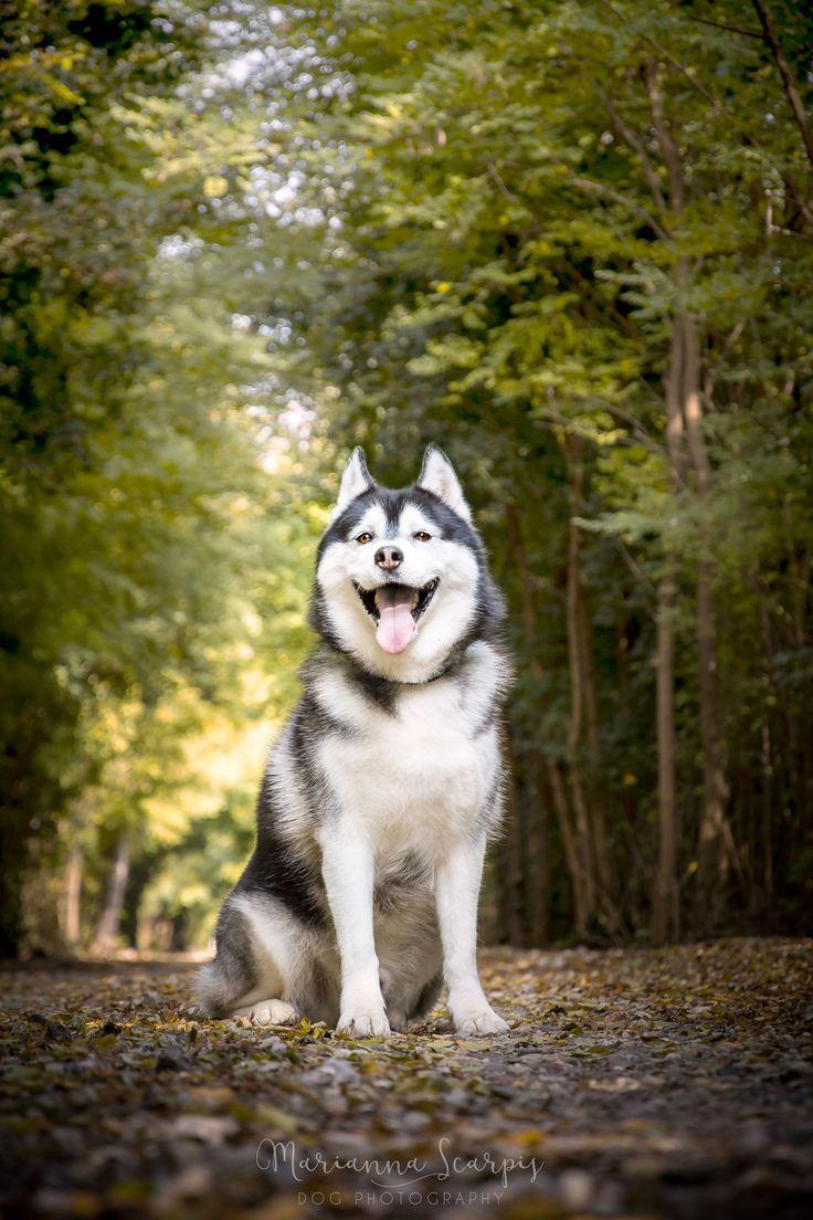 Siberian Husky | Lupo | Photo by Marianna Scarpis