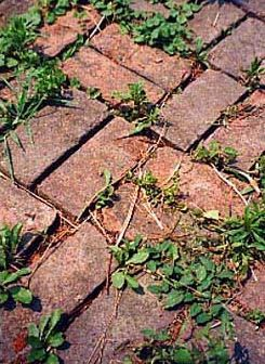 Mix salt into a jug of water and pour the salty solution onto the weeds and between the bricks. The salty solution will kill unwanted weeds. In addition pour fine salt directly onto the weeds.