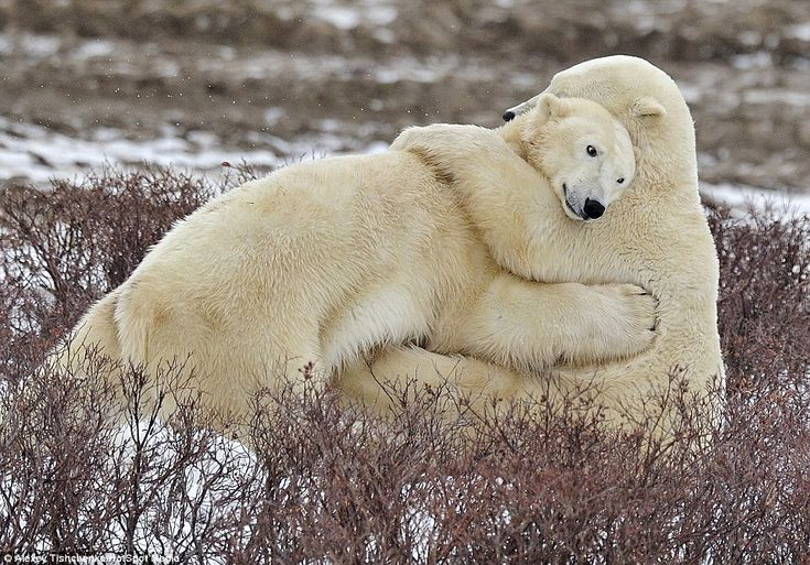 These cute polar bears share a cuddle together in Churchill, Canada as they call time out on playtime. The brother and sister embrace with a friendly hug, as they catch their breath after a busy afternoon. The picture was taken by Russian photographer Alexey Tishchenko, 43