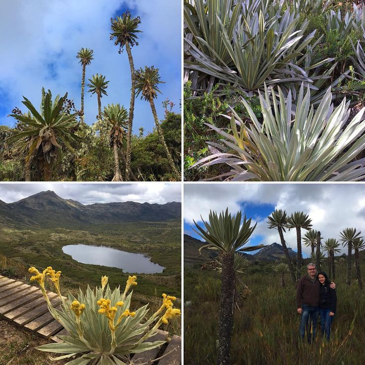 Today we went on a #frailejón #tour through #Chingaza #nationalpark hoping to check all 4 species off our list! #safari #páramo #espeletia #unique #flora #bucketlist #endemic #plants #ecotourism #hiking #Colombia