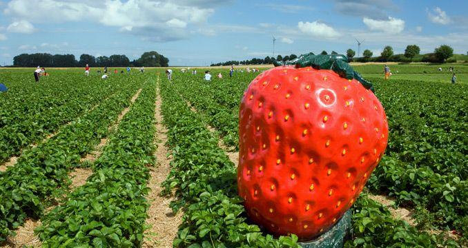 Erdbeerzeit in Bayern! Eine Karte mit allen Erdbeerfeldern zum Selbstpflücken finden Sie hier!