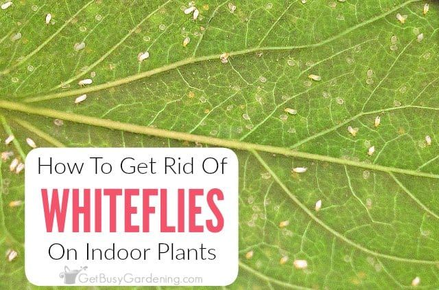 09028091fc16dbde380f94f99c51bda9 - How To Get Rid Of Small White Bugs On Plants