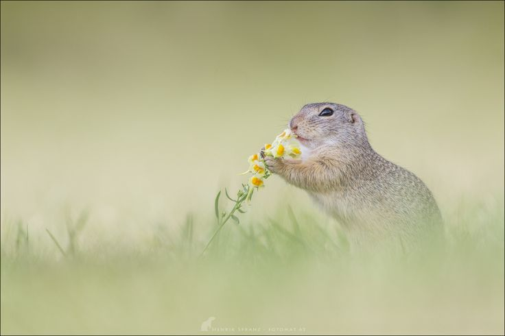 A Ziesel (European ground squirrel/Spermophilus) nosing a yellow toadflax. Look for more on http://facebook.com/fotomat Henrik Spranz