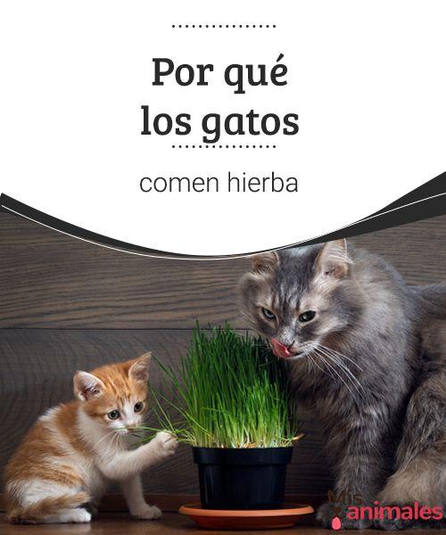 Por qué los gatos comen hierba El porqué los gatos comen hierba es una incógnita que te vamos a desvelar. ¿Lo harán por las mismas razones que los perros? Descúbrelo aquí. #hierbas #comer #mascotas #alimentación