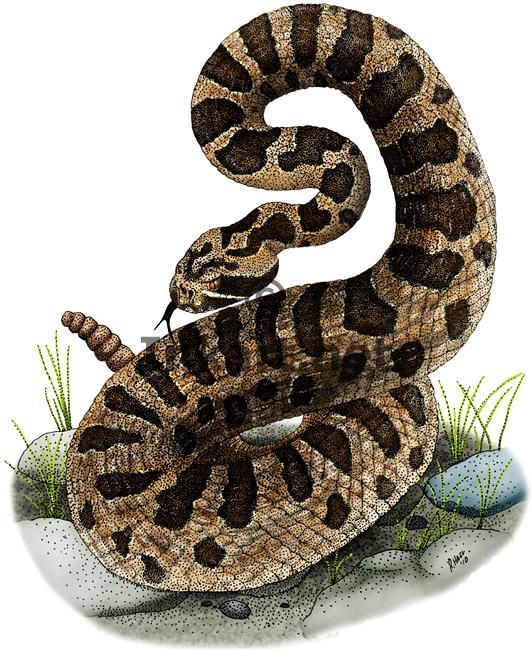 14 best illustrations of rattlesnakes images on pinterest for Western diamondback rattlesnake coloring pages