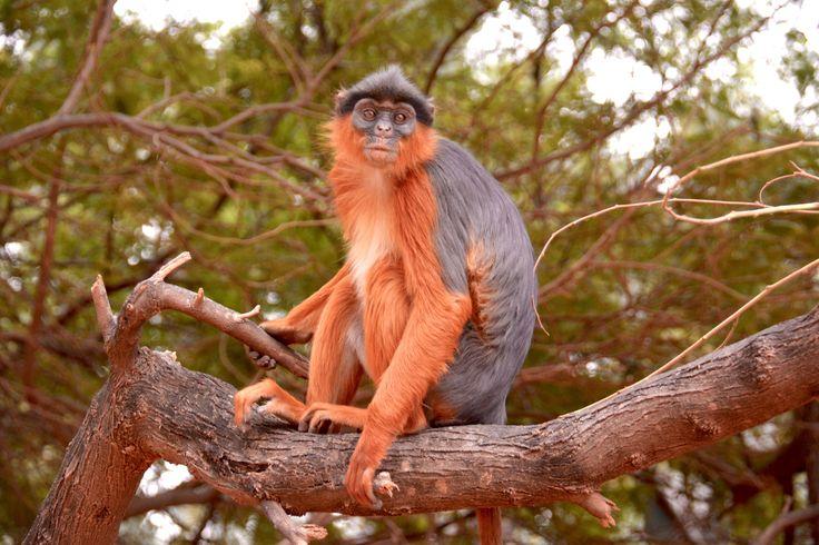 Western red colobus monkey in Bijilo Forest, Gambia. #Gambia #BijiloForestPark #RedColobus #Monkey #Abe #RødColobus #SpiesRejser #HenryRasmussen