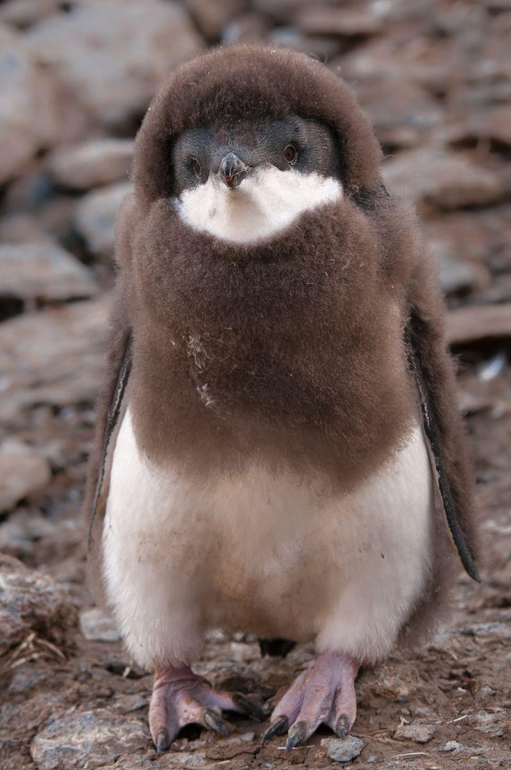 baby penguin... Looks like he's wearing a fuzzy hoodie!