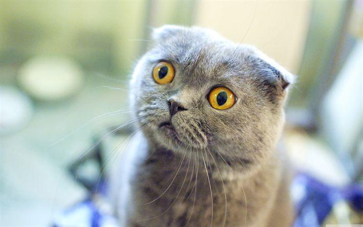 Download wallpapers 4k, Scottish Fold, yellow eyes, muzzle, cats, cute animals, pets, domestic cat, Scottish Fold Cat