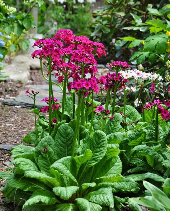 Shade Garden Ideas shade garden ideas under trees shade tree landscaping inc auburn nh 03032 1024x768 This Is One Of My Faves For The Shade Garden Candelabra Primrose Primula Japonica