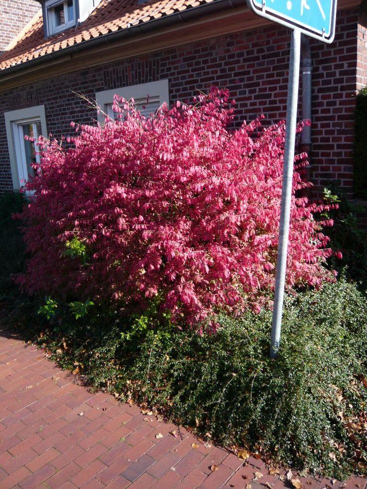 11 besten pflanzen mit leuchtend roter herbstf rbung. Black Bedroom Furniture Sets. Home Design Ideas