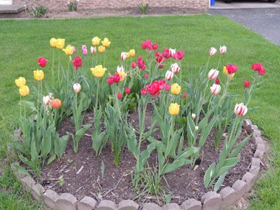 die besten 25 how to grow tulips ideen auf pinterest fr hlingsblumen bilder fr hlingsblumen. Black Bedroom Furniture Sets. Home Design Ideas