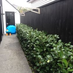 Image result for griselinia hedging driveway