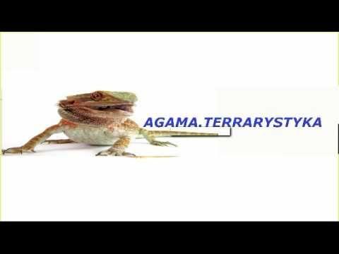 Agama Brodata - Mały poradnik cz.1 (TERRARIUM)