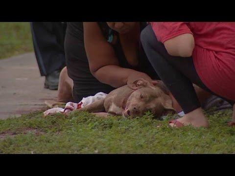 Hero dog comforted by owner's mom after saving her from stabbing attack Een held van een hond heeft de moeder van zijn baasje gered die werd aangevallen door een man met een mes.  De 6-jaar oude vrouwelijke pitbull met de naam Lucy stierf afgelopen zaterdag nadat ze werd gestoken in haar nek. De dader, Walter Williams, was het ex-vriendje van Lisa Potts en probeerde haar neer te steken met een mes.