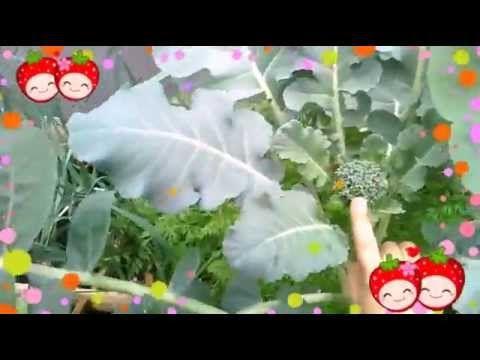 Broccoli bloemknoppen groeien als kool! (AH Moestuintjes)