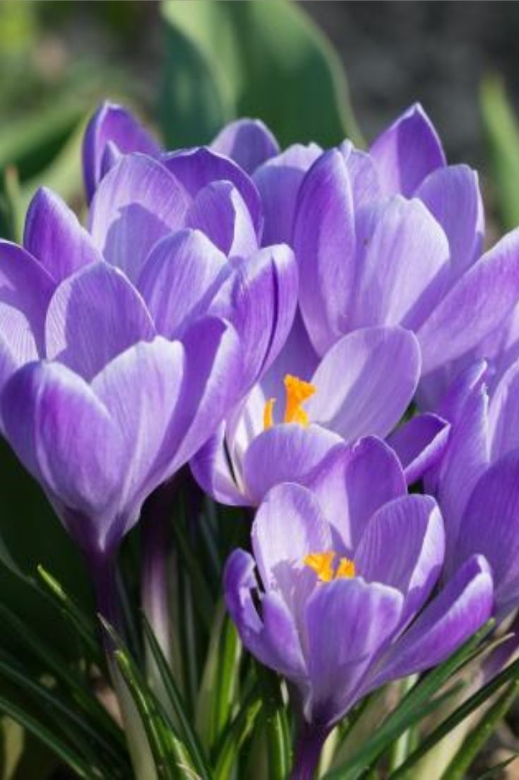 057df61a7099c Growing Crocuses  The Years First Flower How to Plant