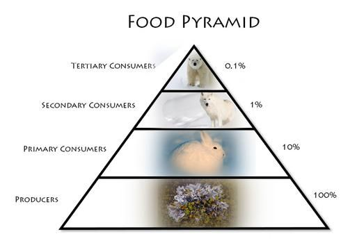 ARCTIC TUNDRA ecosystem food web diagram | landing ecosystems food chain food chain of the arctic tundra food ...