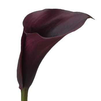 FiftyFlowers.com - Burgundy Black Mini Calla Lily Flower - 50 Petite Calla Lileis for $139.99