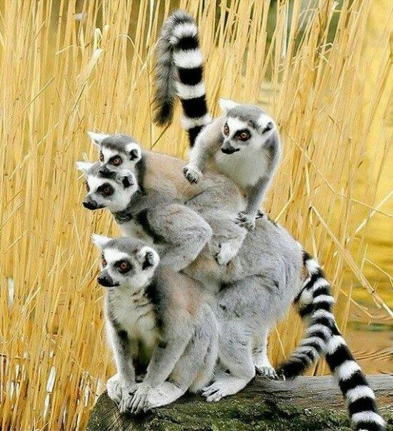 """Lemurs (NOT monkeys!).   (""""Lemur monkey pyramid"""")"""