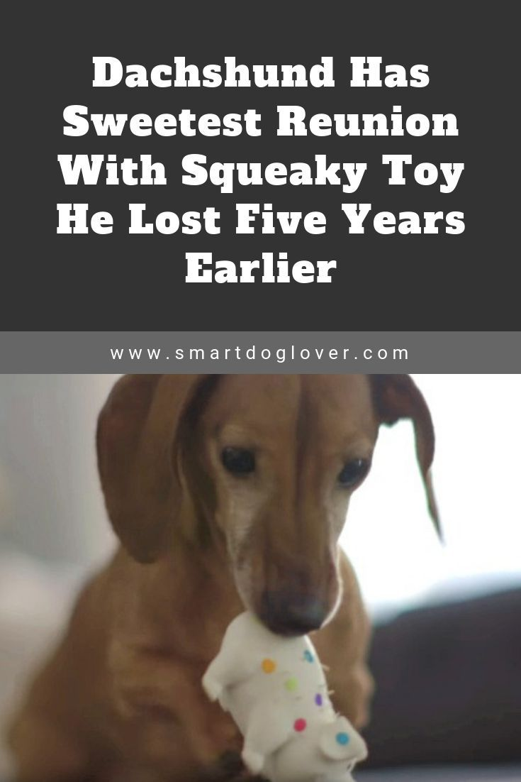 Dachshund Has Sweetest Reunion With Squeaky Toy He Lost Five Years