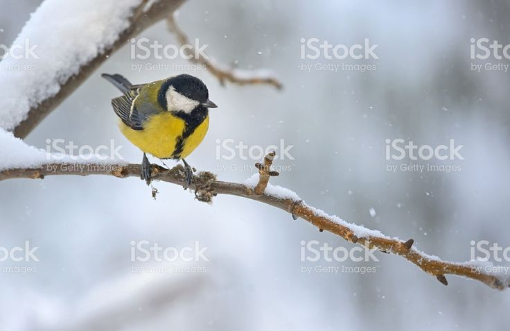 great tit on tree brunch royalty-free stock photo