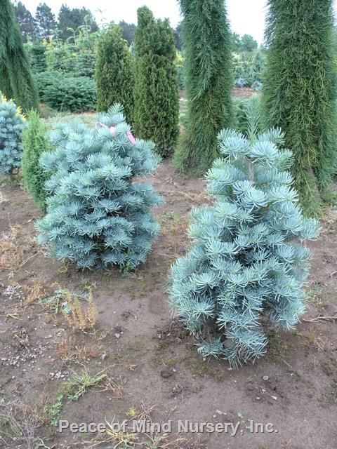 Abies concolor 'Dwarf Blue' | Wholesale Nursery Supplies & Plant growers in Oregon | Nursery Guide