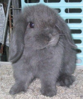 Blue Holland Lop, AWESOME COLORING. Hollonds have to be my fav breed of rabbit!