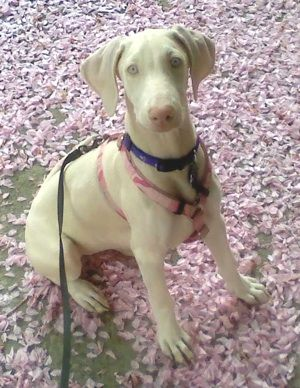 """Sweet face....white Dobie is a recessive gene (albino gene). Not """"RARE"""" as some will try to promote for sales purposes. White Dobie's may or may not be deaf, partial or full blindness, different health issues. They still have the WONDERFUL personalities and temperaments of the breed. This little girl is precious."""