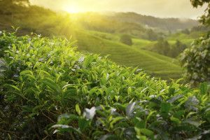 Tea Plants are Cold Hardy and Easy to Grow