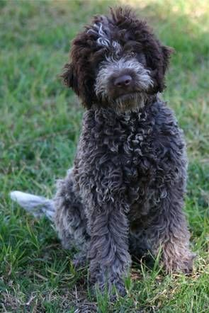 We like this slightly rough cut better than the perfectly trimmed style. Although this is a puppy, we try to keep our adults slightly rough like this.