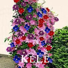 Wielka Wyprzedaż! Clematis Bonsai Żarówki Drutu Lotus Nasiona Roślin Multicolor Clematis Wspinaczka Nasiona roślin 50 Sztuk/partia, # ATK9ST(China (Mainland))