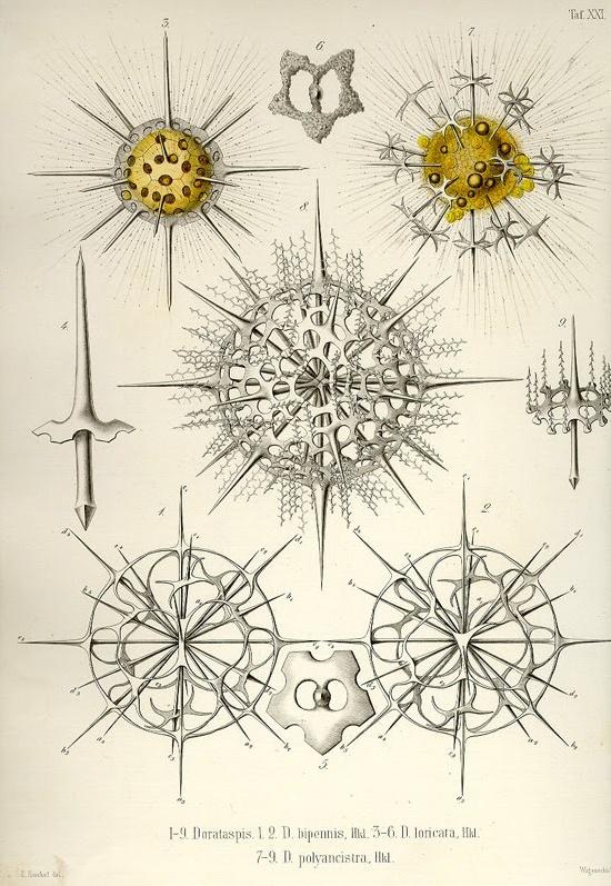 Ad F Ccf E E Cc Ernst Haeckel Art Illustrations
