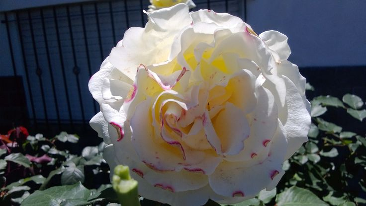 Rosa jaspeada