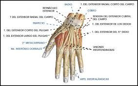 Músculos e tendões da mão
