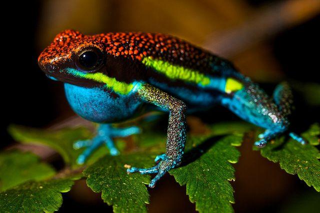 Male poison arrow frog (Dendrobates macero) by pbertner, via Flickr