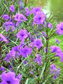 Buy Ruellia Brittoniana Mexican Petunia Plants, For Sale Online, How to grow & care for.