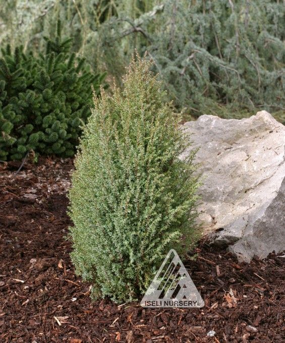 Juniperus communis Miniature:  More Durable, adaptable and dense this improved selection sports the same compact, bluish-green foliage and upright habit. It differs, though, in its broader pyramidal shape and its better tolerance to wind, cold and reflected sun.