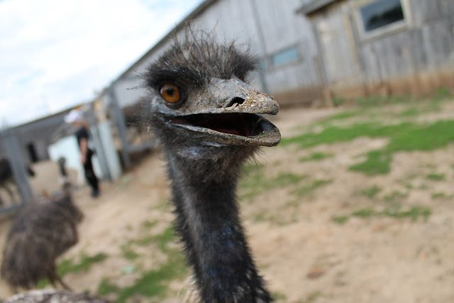 татарский страус, татарский страус в Казани, страусиная ферма в Казани, страусы, страус, ферма страусов, контактный зоопарк