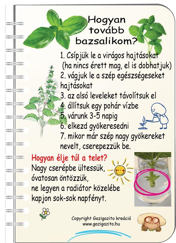 Bazsalikom, Ocimum basilicum - gazigazito.hu
