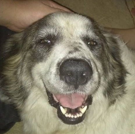 Great Pyrenees dog for Adoption in Spring, TX. ADN-666151 on PuppyFinder.com Gender: Female. Age: Adult