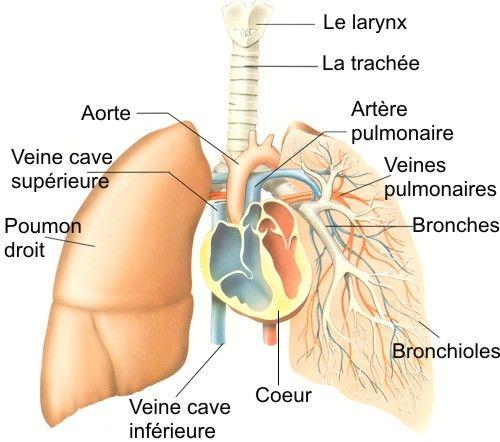 Appareil respiratoire, Système respiratoire, Schémas, Anatomie