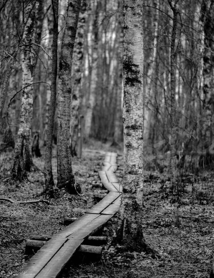 Pitkospuut koivikossa