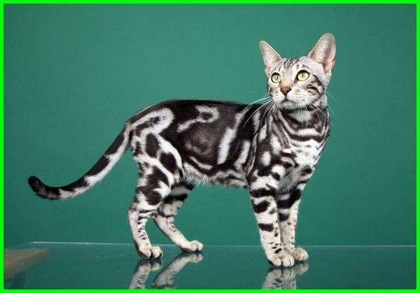Kucing Bengal Informasi Asal Usul Dan Karakteristik Ekor9 Com Kucing Bengal Hewan Kucing