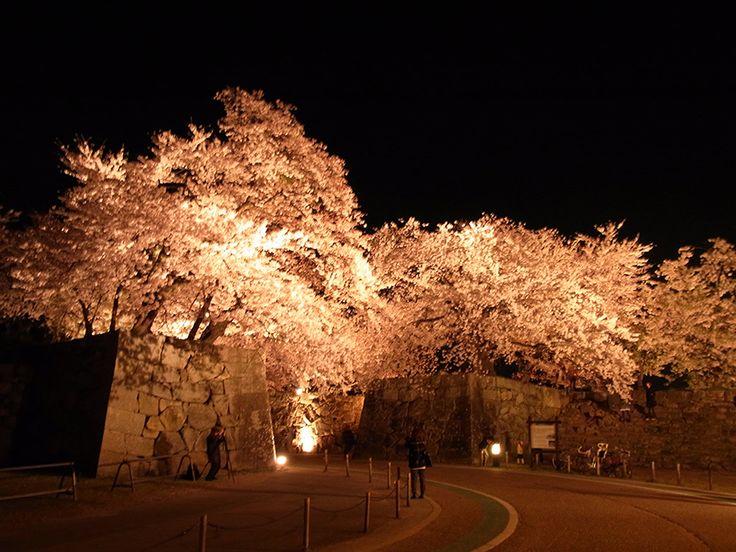 彦根城の石垣と夜桜